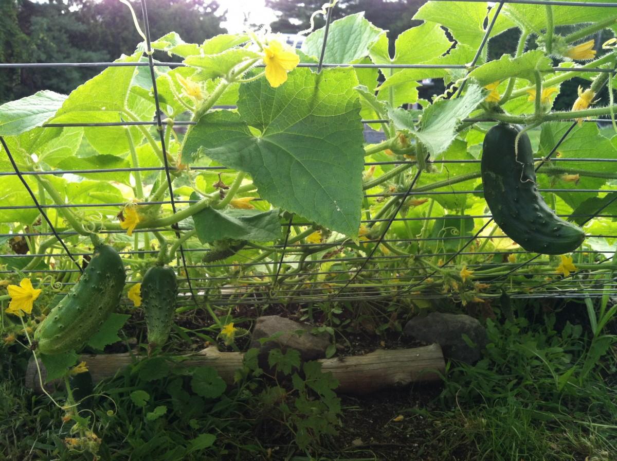 Нашатырь в палисаднике: хитрости подкормки и выращивания огурцов