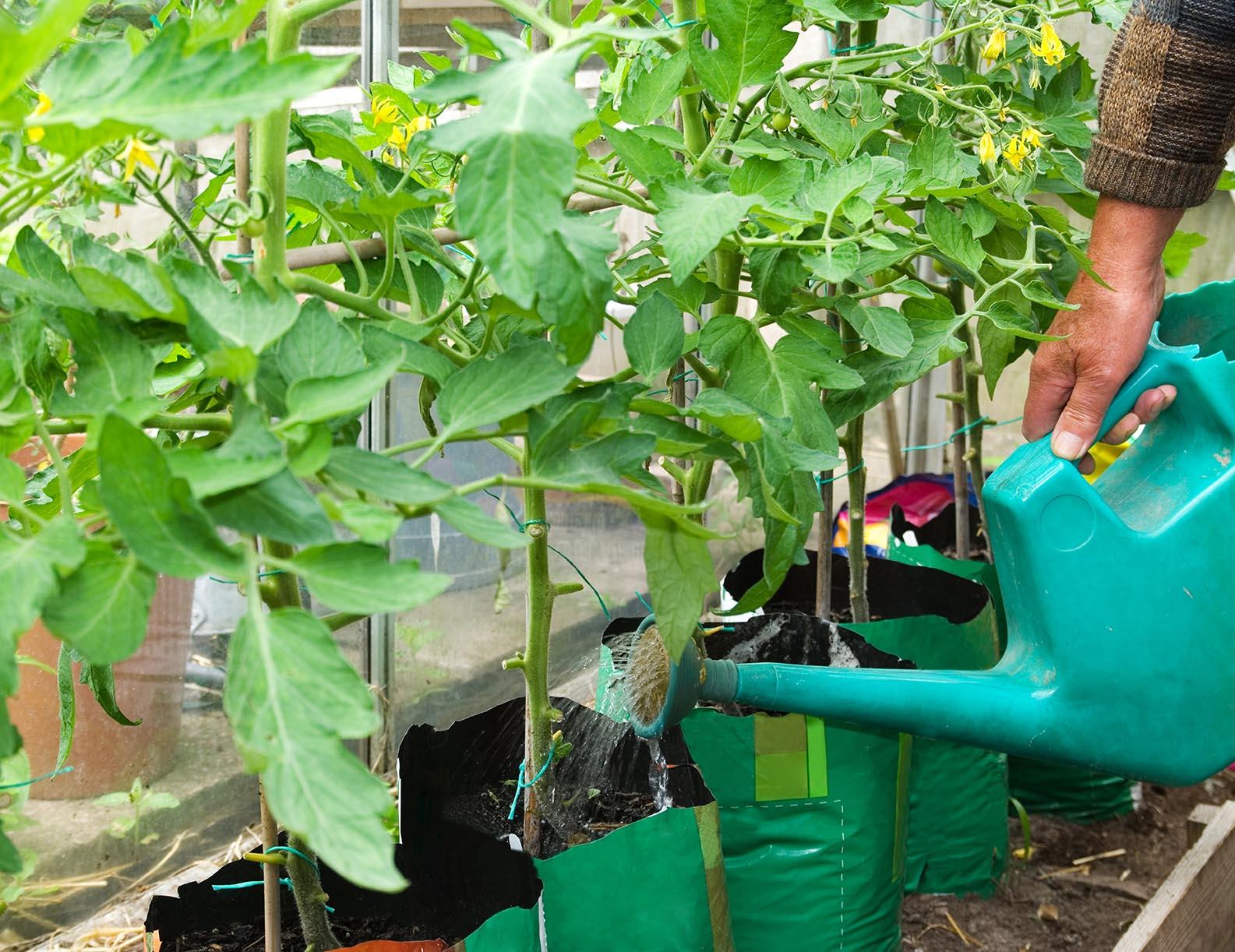 «Ленивые» подкормки для томатов и огурцов, проверенные временем